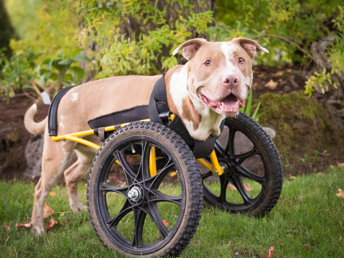 pitbull rescue dog mobility cart